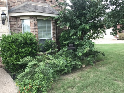 These are overgrown shrubs that needed to be trimmed. Denton Tree Removal also handles trimming up shrubs like this.